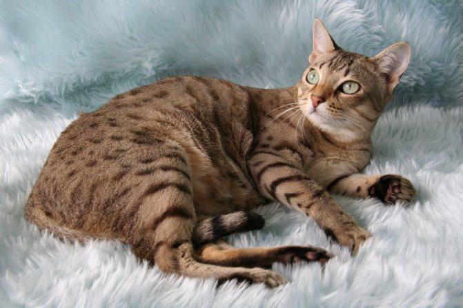 Австралийский мист или дымчатая кошка