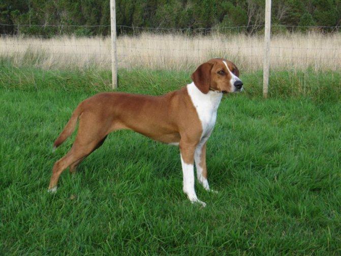 Австрийский пинчер: описание породы, характер и условия содержания собаки