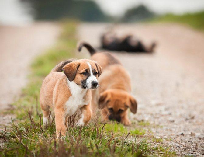 Австрийский пинчер щенок