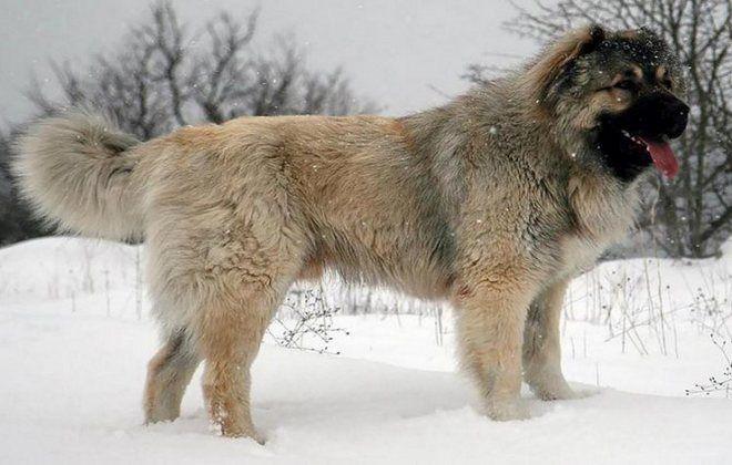 азербайджанская кавказская овчарка