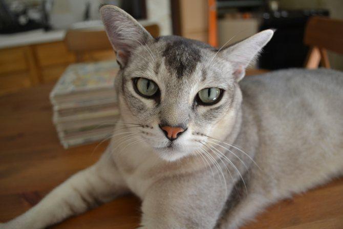 Азиатская дымчатая кошка кто она