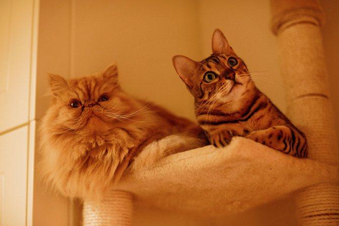 Азиатская табби и персидская кошка фото.jpg
