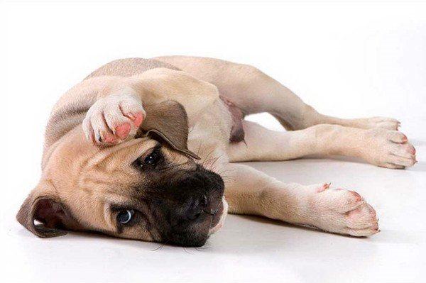 Баланопостит у собак способен протекать как в лёгкой, так и осложнённой форме