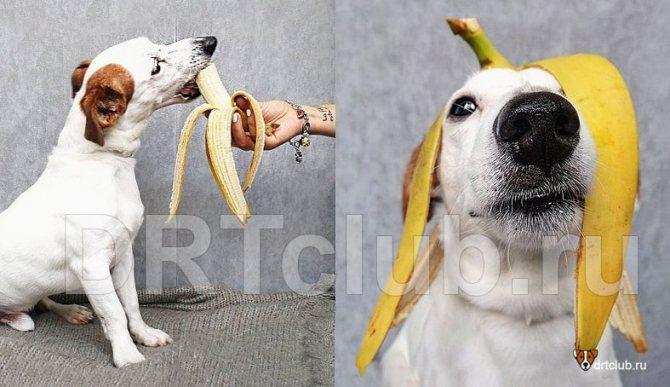 Бананы для собак: можно или нельзя