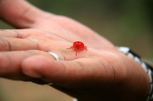 бархатный клещ краснотелка земляной клещ