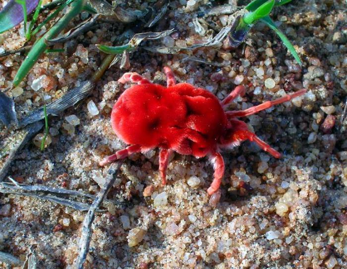 бархатный клещ краснотелка