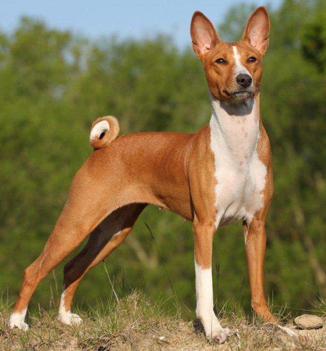 Басенджи - африканская нелающая собака