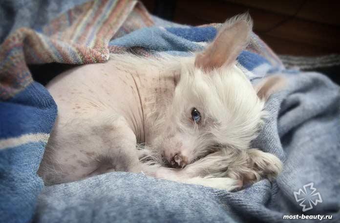Белай китайская хохлатая собака. CC0