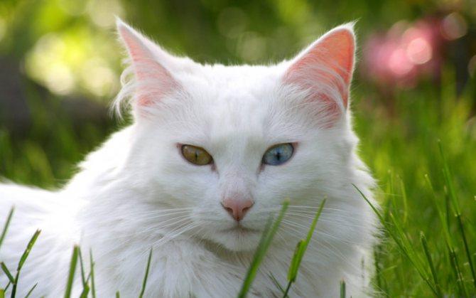 белая кошка перебежала дорогу