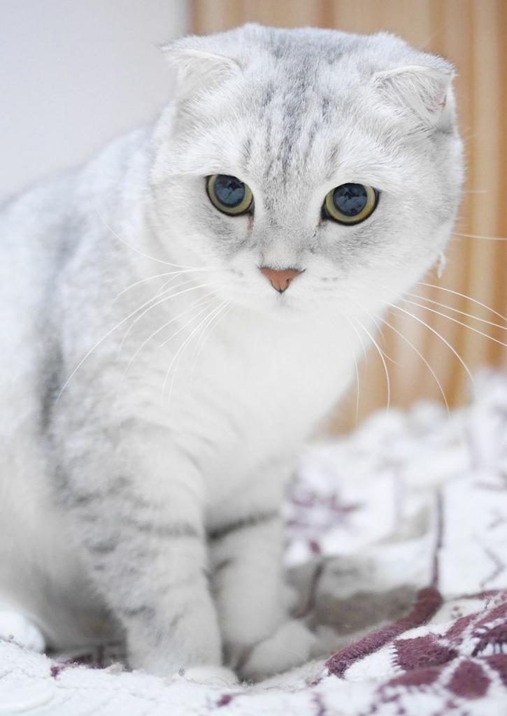 Белая шотландская кошка