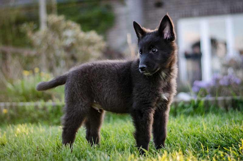Бельгийская овчарка: щенок, фото