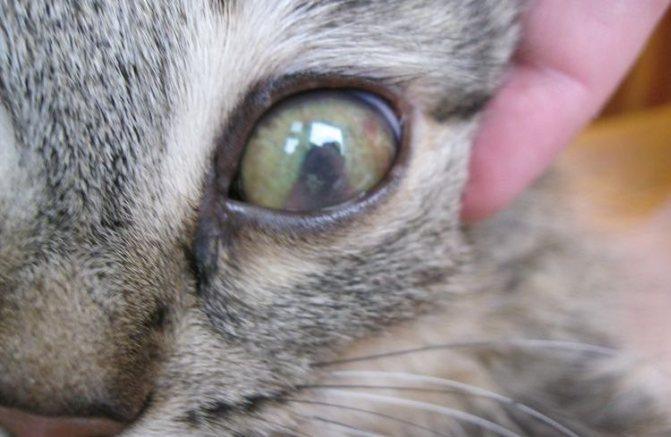 Бельмо на глазу кота