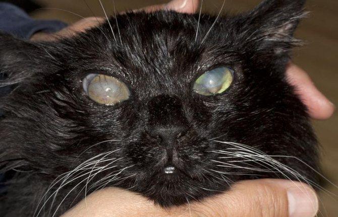 Бельмо на глазу у кошки
