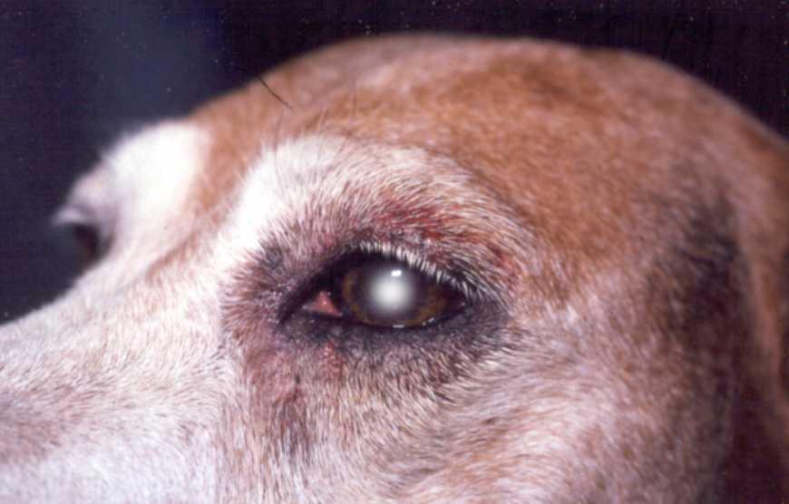 Бельмо у собаки на глазу