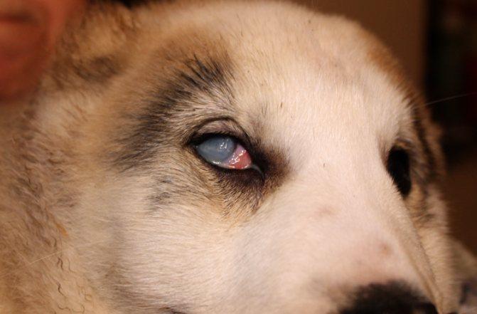 Бельмо у собаки