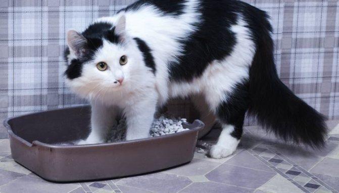 Белок в моче у кошки