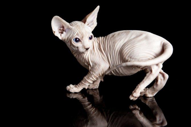 Белый котенок сфинкс.