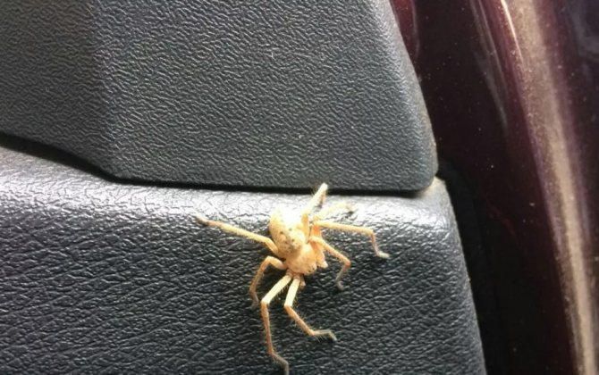 белый паук в машине
