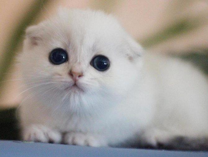 Белый вислоухий котенок