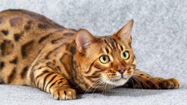 Бенгальская кошка быстро обучается выполнению различных трюков