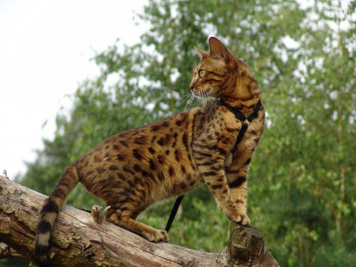бенгальская кошка домашняя фото