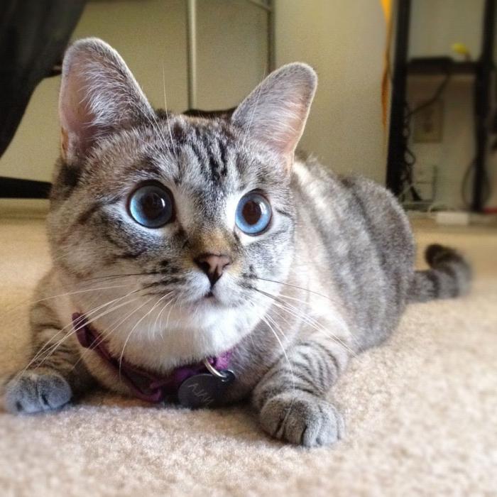 бенгальская кошка окрасы