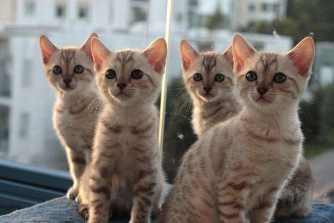Бенгальские котята.jpg