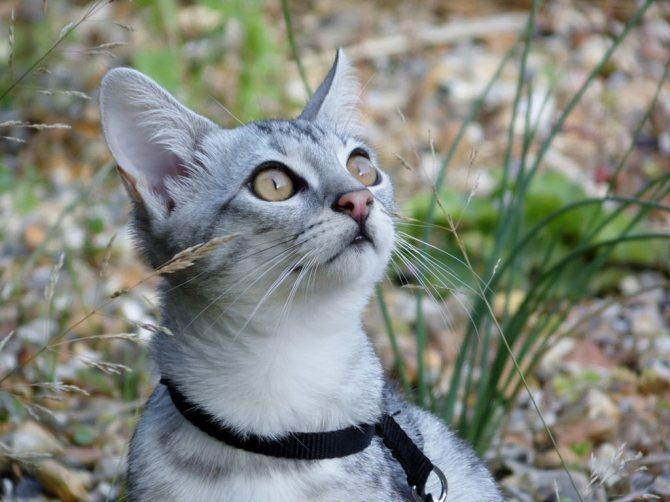 Бенгальский котёнок розетка на серебре фото.jpg