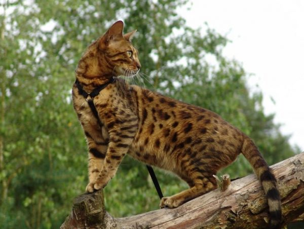 Бенгалы одна из пород котов, которые ведут активный образ жизни