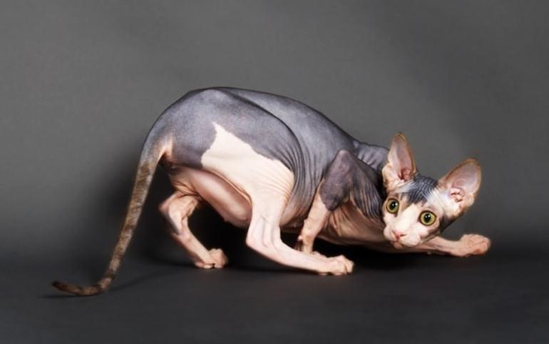 Беременная кошка сфинкс