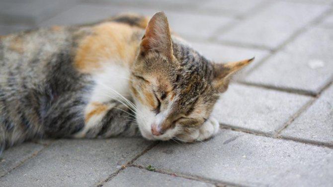 Беременная кошка спит