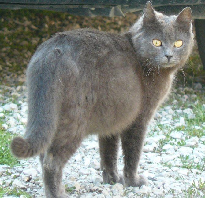 Беременная кошка