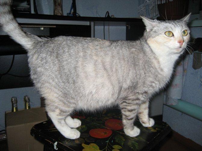 Беременную кошку можно стерилизовать