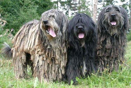 Бергамаско - порода пастушьих собак