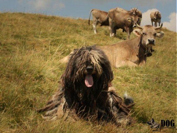 бергамская овчарка, бергамаско, бергамская овчарка это, бергамская овчарка фото, история происхождения бергамских овчарок, описание породы бергамская овчарка, стандарт породы бергамская овчарка, характер бергамской овчарки
