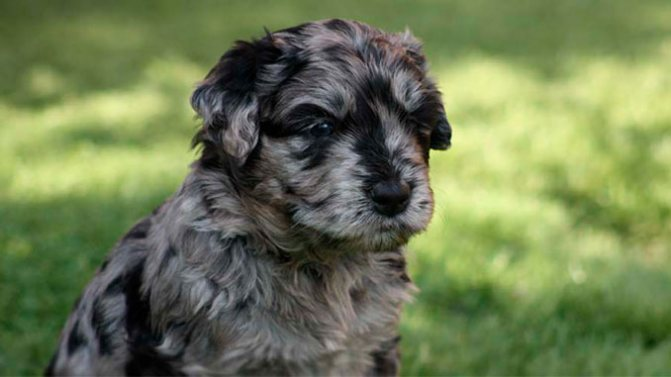 Бергамская овчарка фото щенка