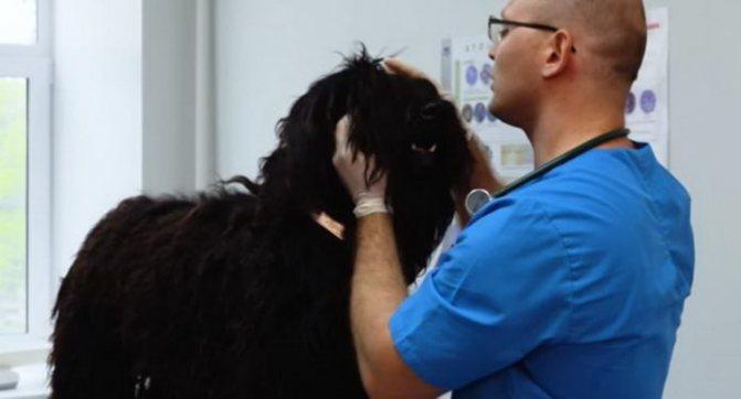 бергамская овчарка нуждается в регулярном осмотре ветеринара