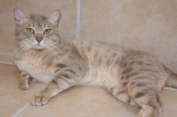 Бежевый окрас австралийского миста или дымчатой кошки