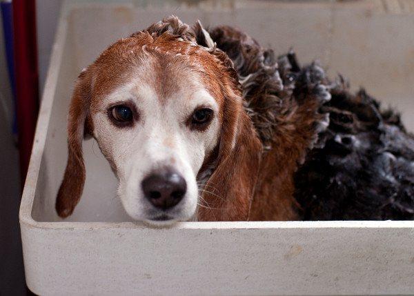 Бигль в ванне с нанесенным шампунем