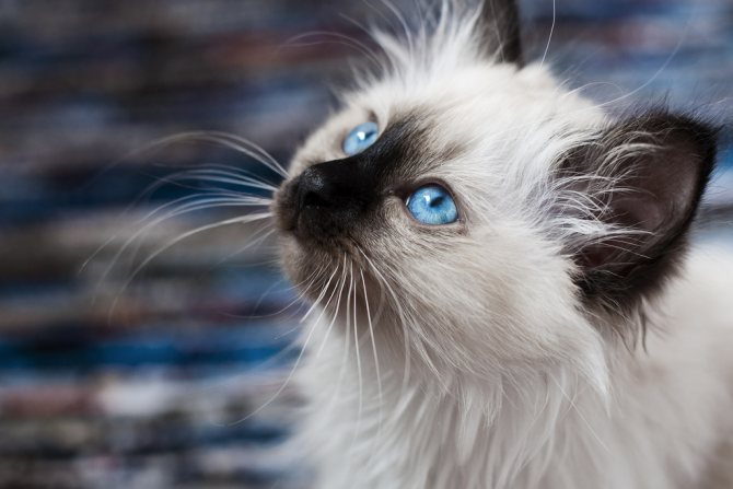 Бирманский котёнок
