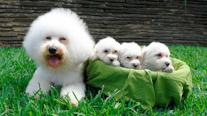 Бишон фризе со щенками фото