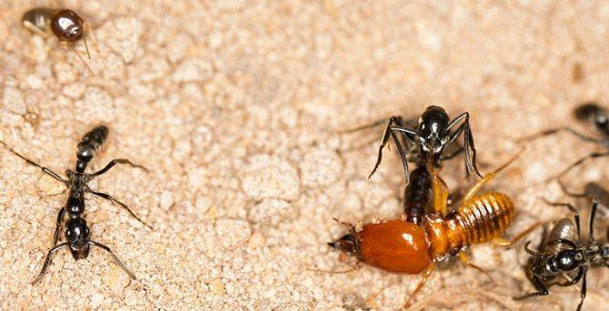битва с муравьем
