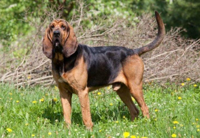 Бладхаунд (собака святого Губерта)