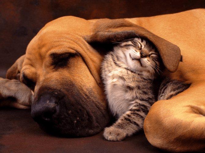 Бладхаунды могут дружить с котами или псами других пород