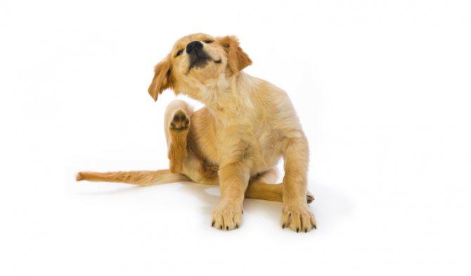 Блохи – источник сильного раздражения пса
