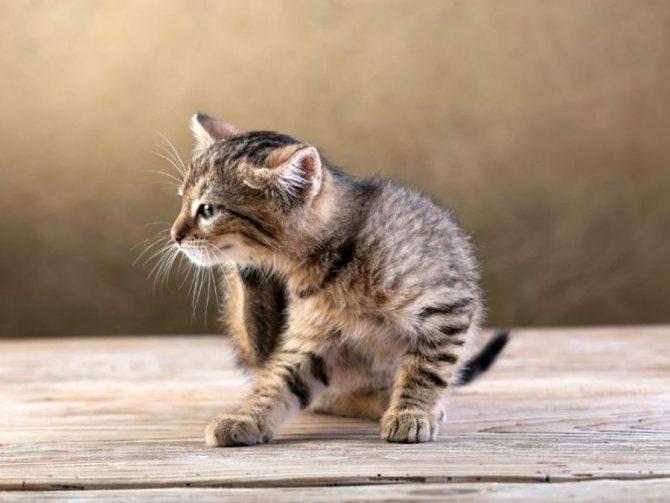 Блохи у кошек: кто это и как с ними бороться