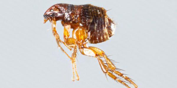 Блохи являются переносчиками опасных болезней