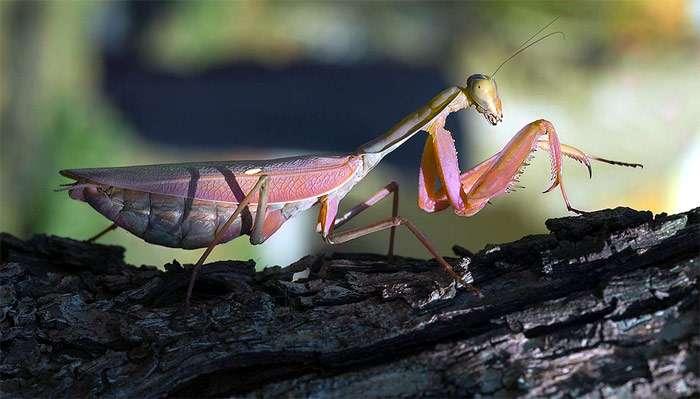 Богомол обыкновенный, или богомол религиозный (Mantis religiosa), фото насекомые фотография