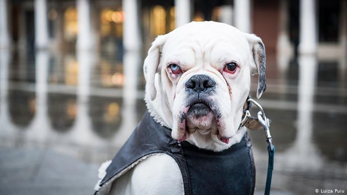 Боксер-альбинос по кличке Ахилл