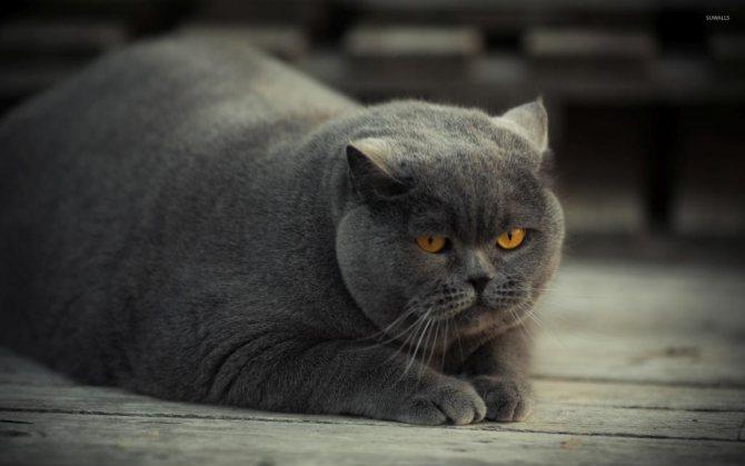Болезнь ожирение у кота